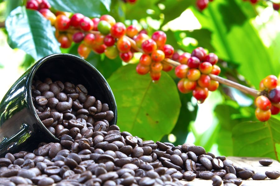 Where Does Coffee Beans Come From?