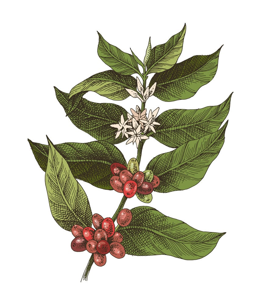 What Do Coffee Plants Look Like?​